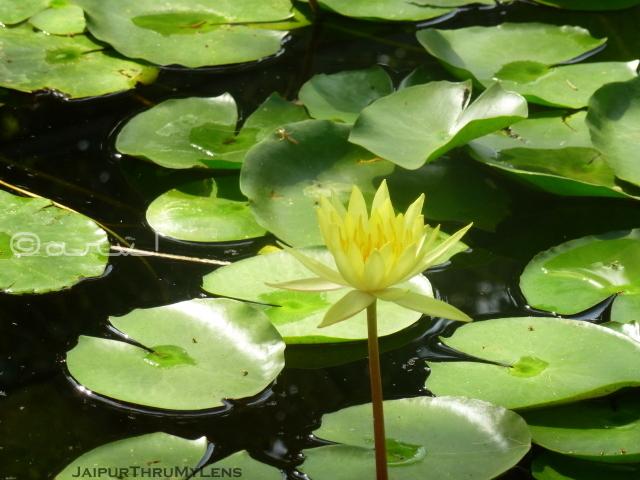 water-lily-flower-yellow-jaipur-ramniwas-garden