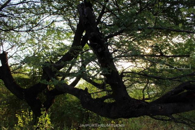 acacia-nilotica-babool-tree-bark-jaipur