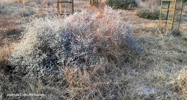 Aerva-javanica-plant-bui-rajasthan-thar-desert-kishan-bagh-jaipur