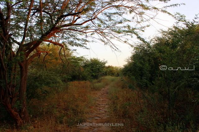 aravali-hill-forest-dhok-babool-trees-jaipur-trekking