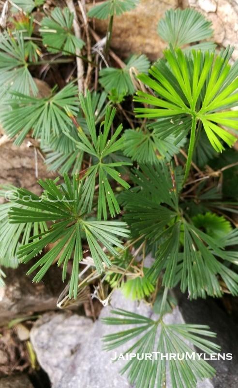 chasmophytes-desert-vegetation-rajasthan-aravali-hills-kishan-bagh-jaipur