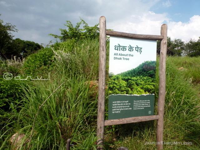 dhok-tree-information-kishan-bagh-jaipur-rajasthan