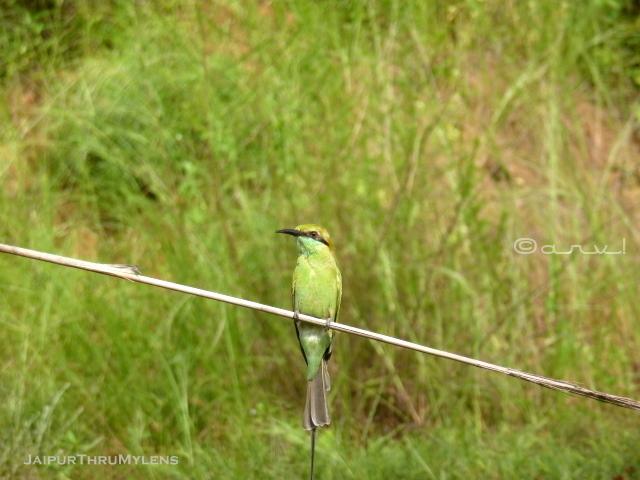 green-bess-eater-habitat-jaipur-kishan-bagh-sand-dunes