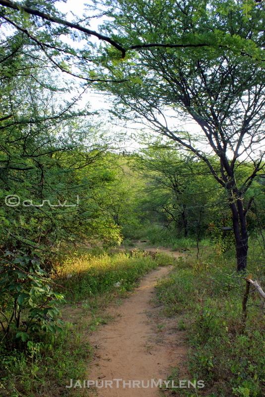 jaipur-trekking-route-aravali-hills-acasia-babool-tree