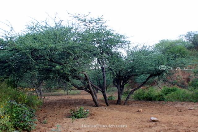 keekar-gum-arabica-babool-tree-aravali-hill-range-jaipur
