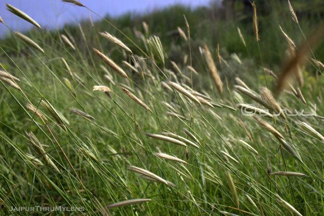 saccharum-munja-sarkanda-grass-use-kishan-bagh-jaipur-rajasthan