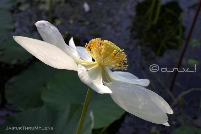 sacred-lotus-flower-jaipur-rajasthan-kishan-bagh