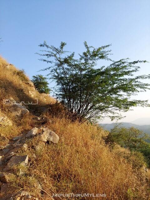 prosopis-juliflora-india-vilayati-keekar-aravali-hilss-jaipur
