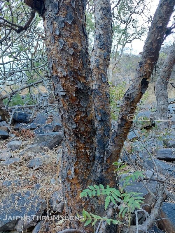 boswellia-serrata-burseraceae-salai-tree-gum-uses-indian-frankincense