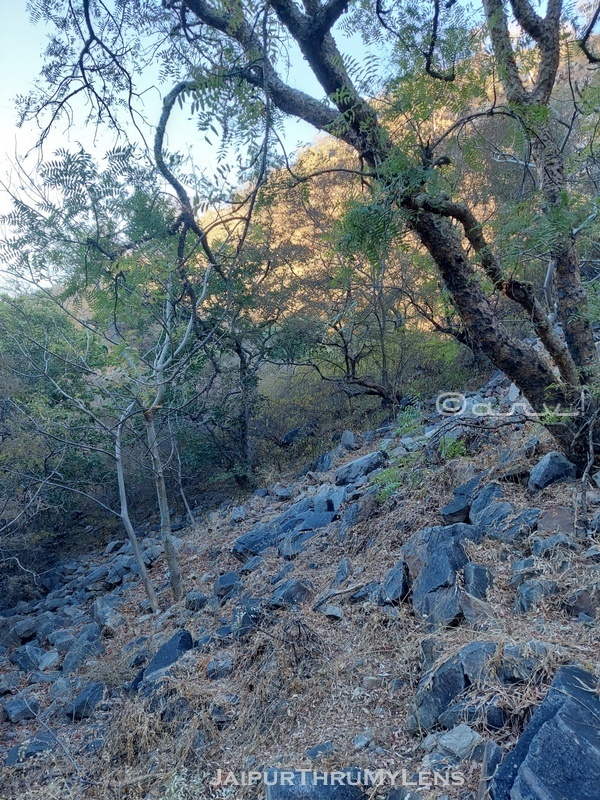 boswellia-serrata-guggul-salai-tree-jaipur-india-image