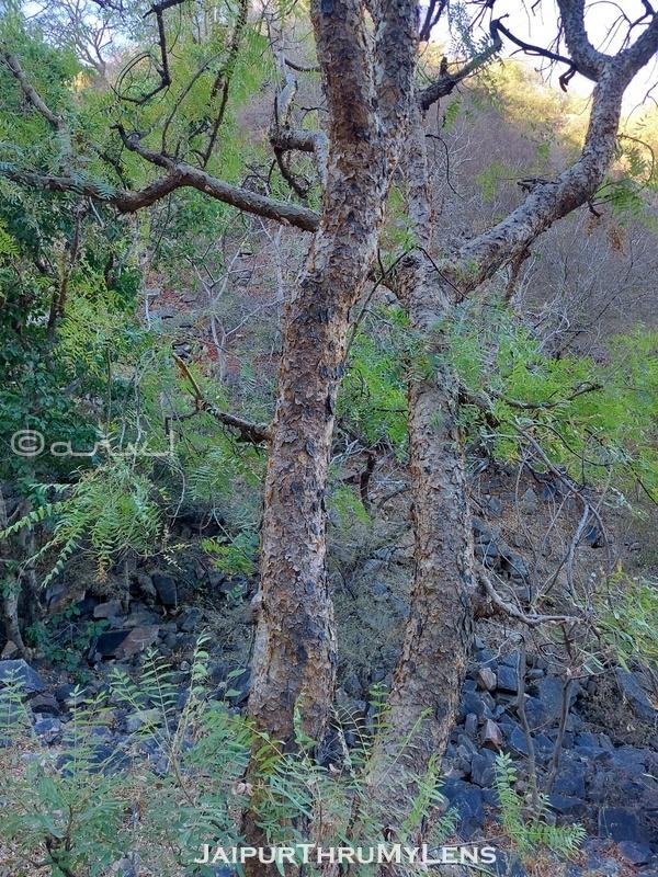 boswellia-serrata-salai-tree-common-names-india