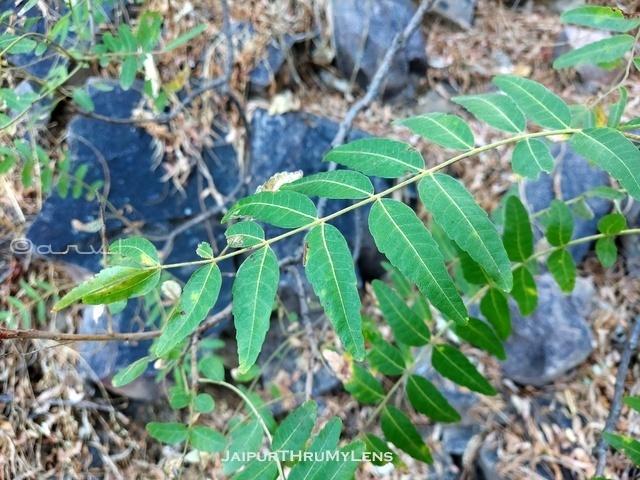 boswellia-serrata-salai-tree-leaves