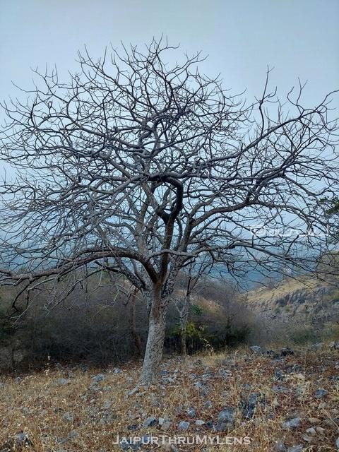 salai-boswellia-serrata-tree-aravali-hill-range