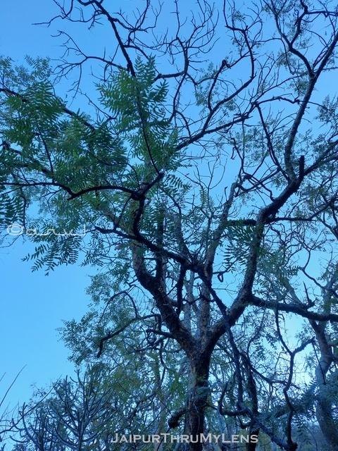 salai-guggul-tree-boswellia-serrata-jaipur-rajasthan-india-image