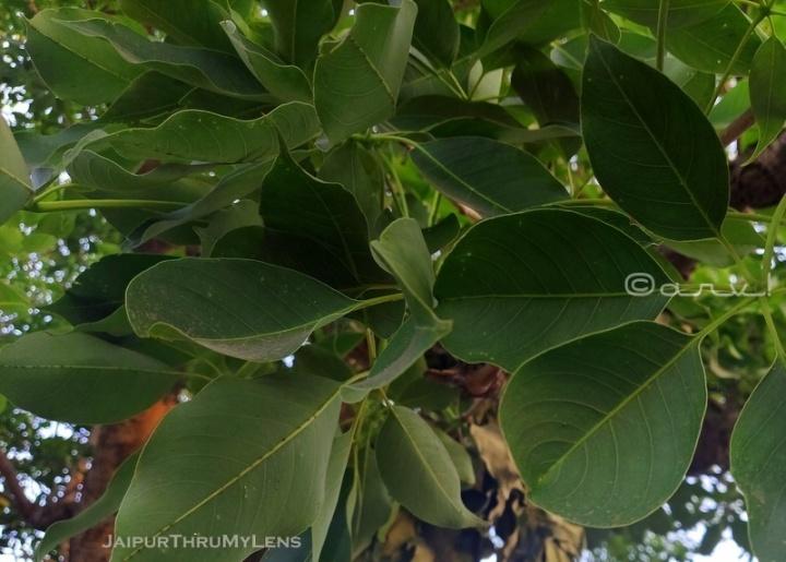 silk-cotton-semal-tree-leaves-image